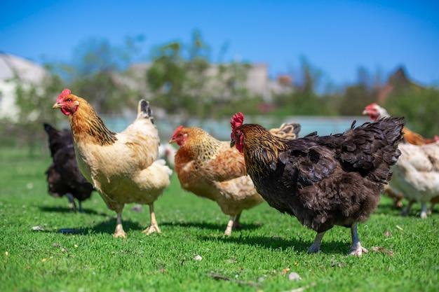 Coq et poulets paissent sur l'herbe verte. bétail dans le village Photo Premium