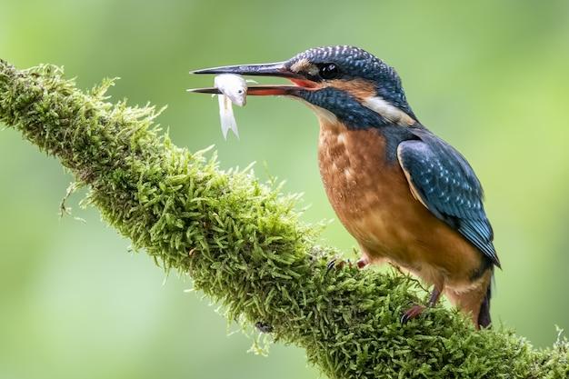 Coraciiformes à Plumes Colorées Tenant Un Poisson Avec Son Bec Sur Un Arrière-plan Flou Photo gratuit