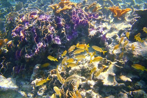 Corail récif des caraïbes poisson maya riviera grunt Photo Premium