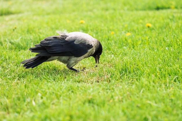 Corbeau noir se promène sur la pelouse verte avec espace de copie. Photo Premium