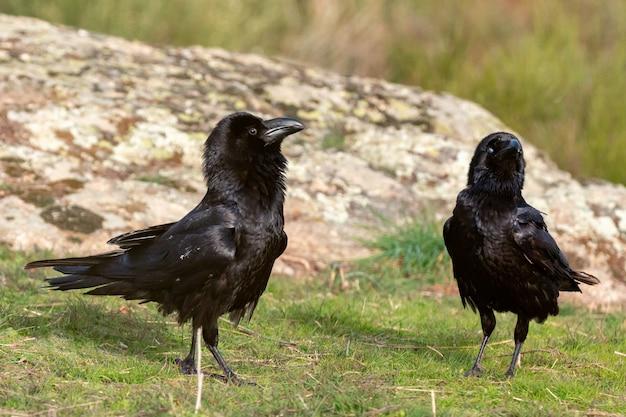 Corbeaux noirs Photo Premium