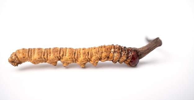Cordyceps Sinensis Ou Cordyceps Aux Champignons Sur Fond Isolé Photo Premium