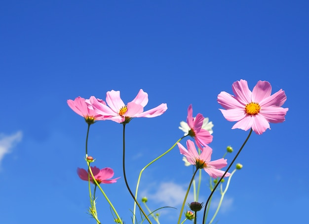 Cosmos rose sur fond de ciel bleu Photo Premium