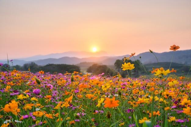 Coucher de soleil sur la montagne avec cosmos en fleurs Photo Premium