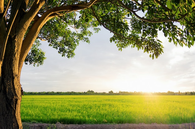 Coucher de soleil sur les rizières Photo Premium