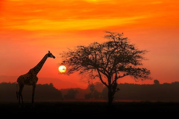 Coucher de soleil rouge avec un arbre africain acacia silhouetté et une girafe. Photo Premium