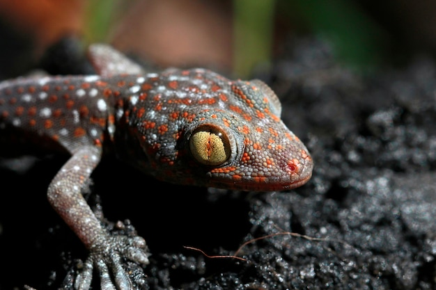Coup de macro de l'oeil d'un tokay gecko (gecko gecko). Photo Premium