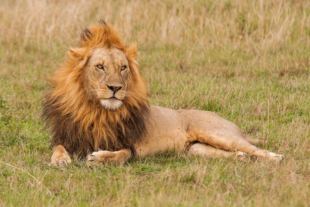 Coup De Mise Au Point Peu Profonde D'un Lion Mâle Reposant Sur Le Terrain En Herbe Photo gratuit