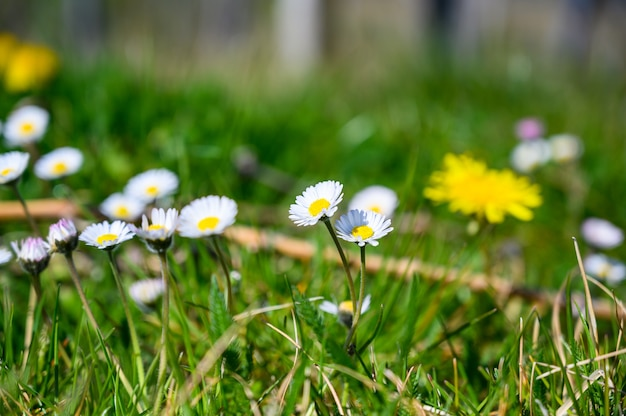 Coup De Mise Au Point Sélective De Belles Fleurs De Marguerite Blanche Sur Un Champ Couvert D'herbe Photo gratuit