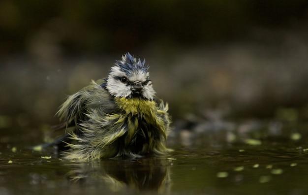 Coup De Mise Au Point Sélective D'un Drôle D'oiseau Mésange Bleue Photo gratuit