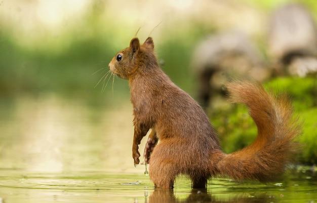 Coup De Mise Au Point Sélective D'un écureuil Mignon Dans L'eau Photo gratuit