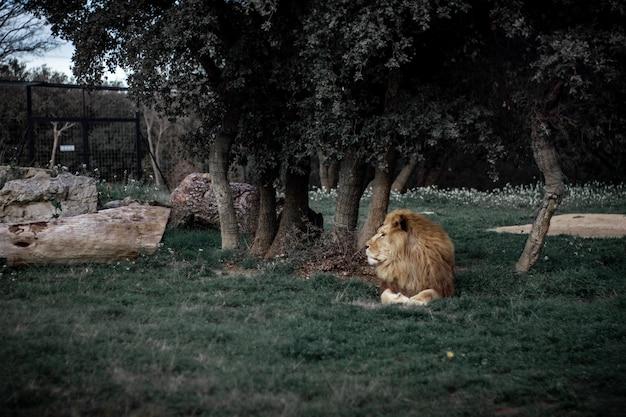 Coup De Mise Au Point Sélective D'un Lion Portant Sur Un Champ Herbeux Près Des Arbres Photo gratuit