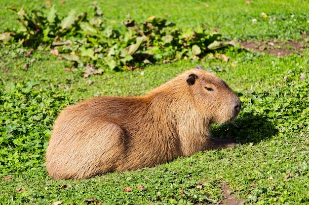 Coup De Mise Au Point Sélective D'un Mignon Punxsutawney Phil Marmotte Assis Sur L'herbe Verte Photo gratuit