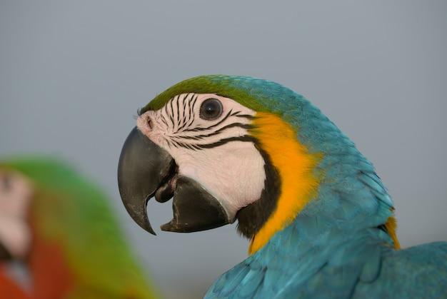 Coup de tête bel ara, bel oiseau coloré d'aras. Photo Premium