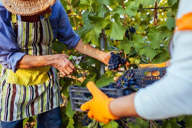 Couple d'agriculteurs cueillent des raisins dans une ferme écologique. Photo Premium