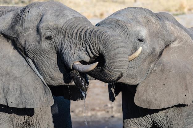 Couple d'éléphant d'afrique au point d'eau. safari animalier dans le parc national de chobe, destination de voyage au botswana, en afrique. Photo Premium