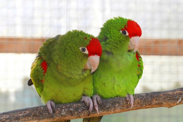 Couple de perroquet vert Photo Premium