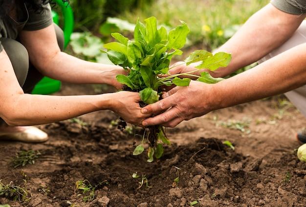 Couple de personnes âgées récoltant les récoltes Photo gratuit