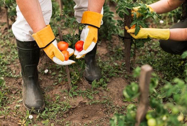 Couple de personnes âgées récoltant des tomates Photo gratuit