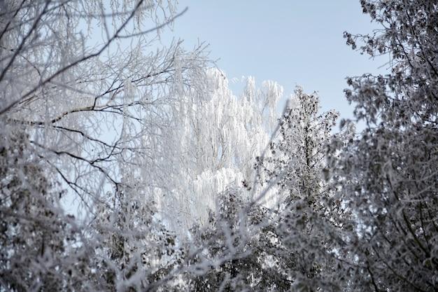 Couronne De Bouleau Dans Le Gel. Forêt De Feuillus D'hiver. Arbres Couverts De Neige Blanche Photo Premium