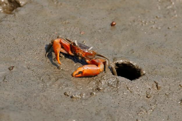 Crabe du violoniste sur la boue Photo Premium