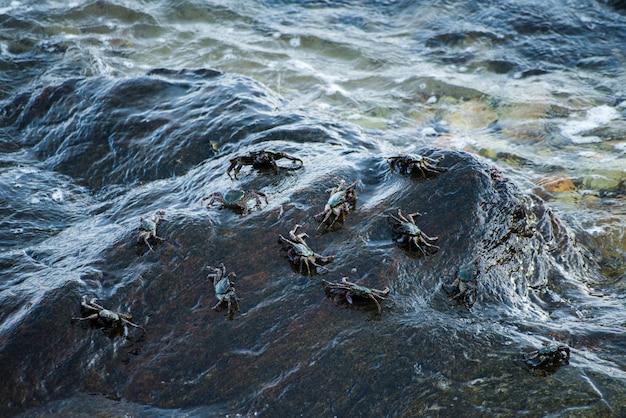 Crabes noirs sur le rocher au bord de la mer. Photo Premium