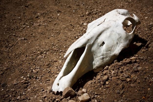 Crâne animal Photo Premium