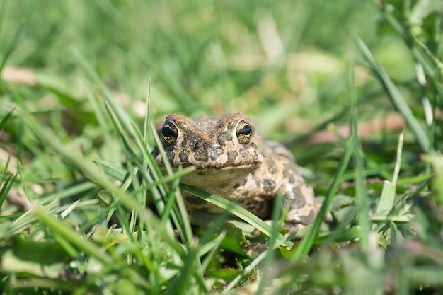 Le crapaud sur l'herbe Photo Premium