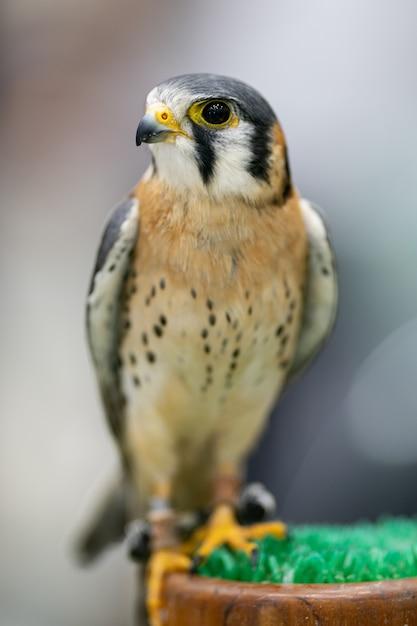 La Crécerelle D'amérique (falco Sparverius) Est Le Plus Petit Faucon Photo Premium