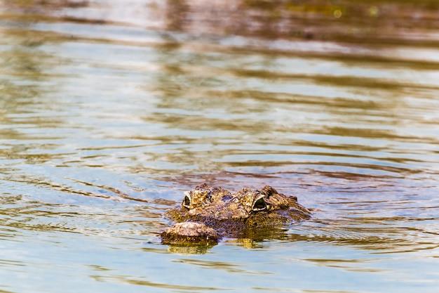 Un Crocodile Du Nil Flottant Lac Baringo Kenya Afrique Photo Premium