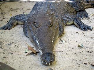 Crocodile, repltile Photo gratuit