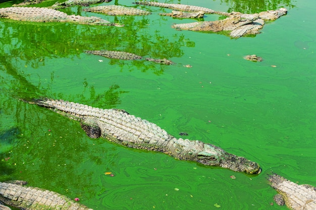Crocodile en thaïlande Photo Premium