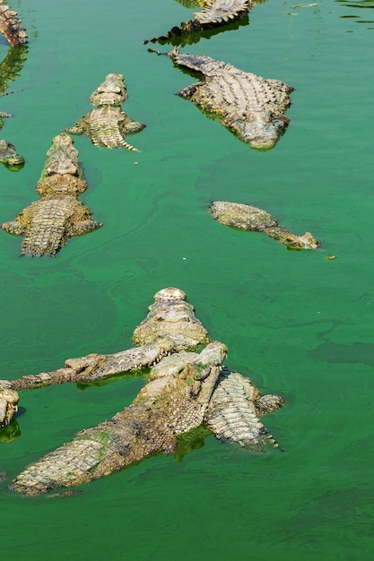 Crocodile en thaïlande Photo Premium