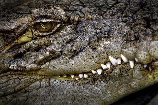 Crocodile, yeux Photo gratuit