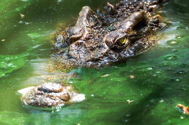 Crocodiles dans le marais vert dans le gros plan Photo Premium