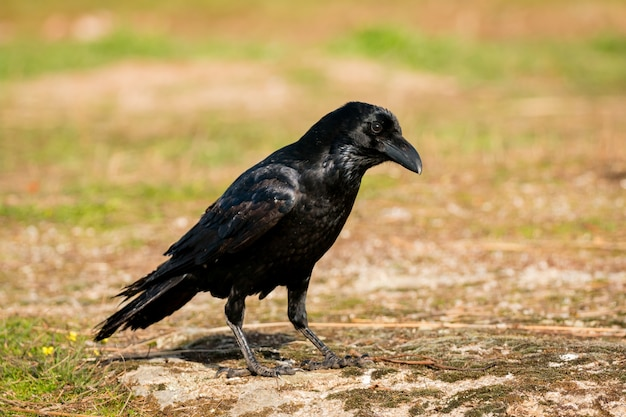 Crow dans la nature Photo Premium