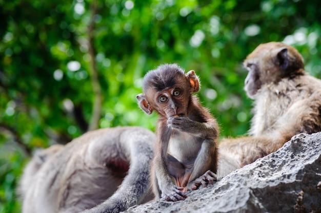 Cub macaca fascicularis assis sur un rocher et mange. singes bébés sur les îles phi phi, thaïlande Photo Premium