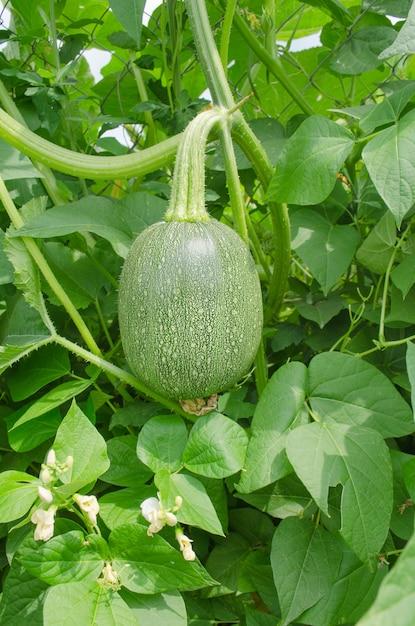 Cucurbita ficifolia en croissance. Photo Premium