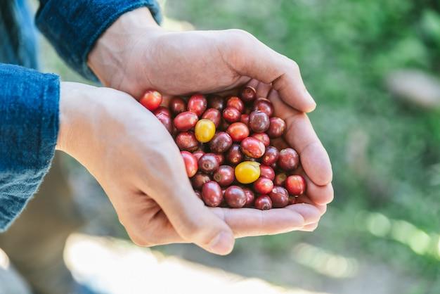 Cueillette à la main de baies de café arabica rouge mûres dans les mains du village d'akha Photo Premium