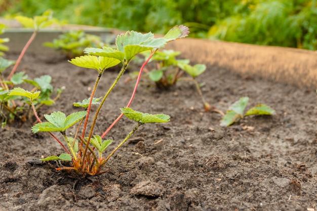 Cultivar jardin fraises dans les rangées dans le jardin d'été Photo Premium