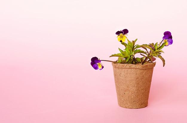 Cultiver Des Semis, Des Fleurs, Des Graines Dans Des Pots De Tourbe. Jardinage Printanier, Outils, équipement. Pensées Photo Premium