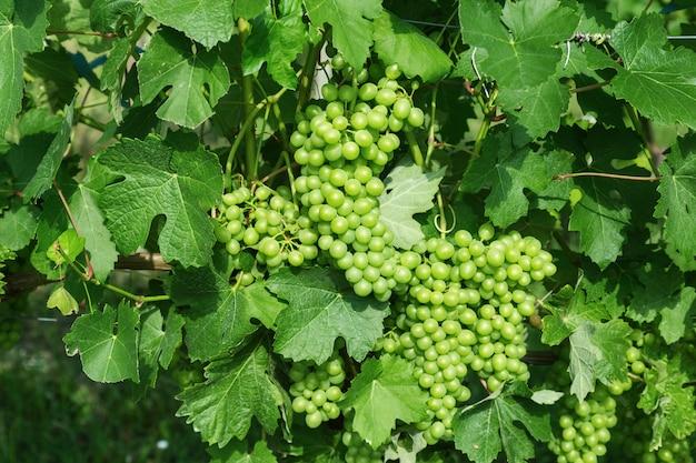 Culture De Raisins Verts En Italie Dans La Région Des Langhe. Grappes De Raisins Verts Vin Closeup. Bonne Récolte De Vin Pour Faire Du Vin. Photo Premium