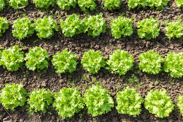 Culture de salade bio dans les serres Photo Premium