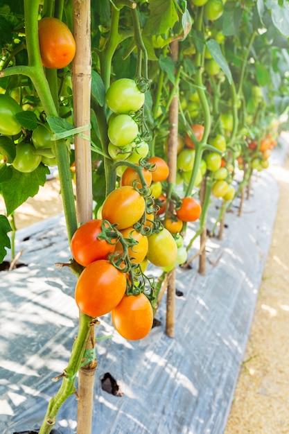 La culture de la tomate dans l'agriculture de plein champ Photo Premium