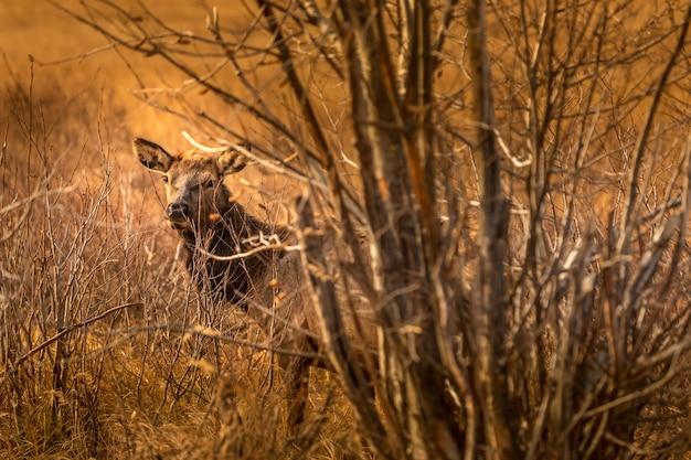 Curieux Cerf Dans Les Broussailles Dans Le Parc National Des Rocheuses Photo Premium