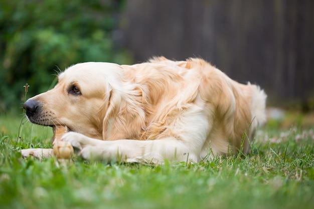 Cute Golden Retriever Jouant / Mangeant Avec Des Os Se Compose De Quelques Peaux De Porc Sur L'immense Jardin, L'air Heureux Photo Premium
