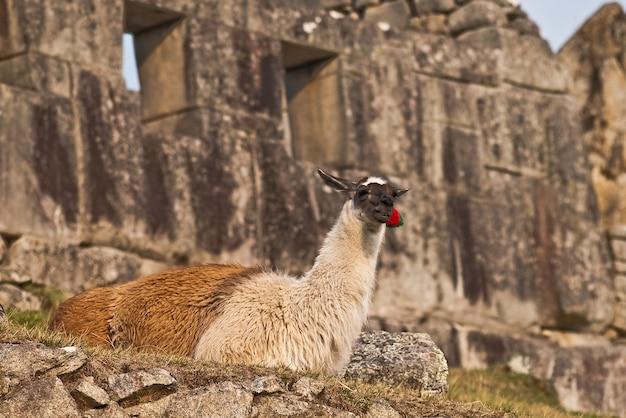 Cuzco pérou machu picchu monument errant Photo Premium