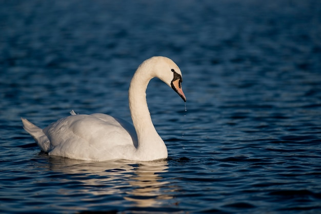 Cygne Muet Photo Premium