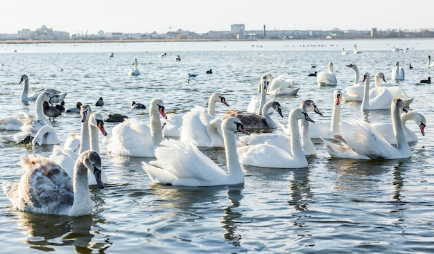 Cygnes Blancs Sur Le Lac Photo Premium