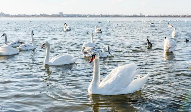 Cygnes Blancs Sur Le Lac Photo Premium